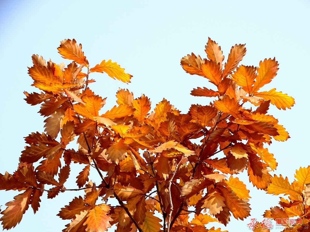 橡子树红叶