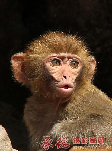 双塔山野生猕猴 摄影:封丽然