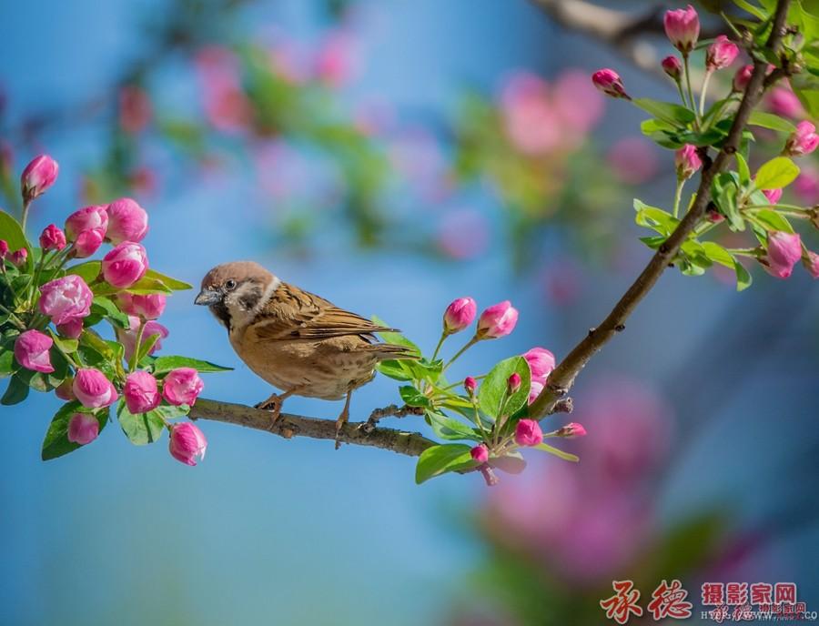 麻雀与海棠花--许大马棒