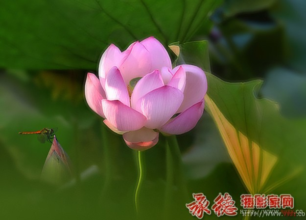 优秀奖:出水芙蓉  zhangn10610