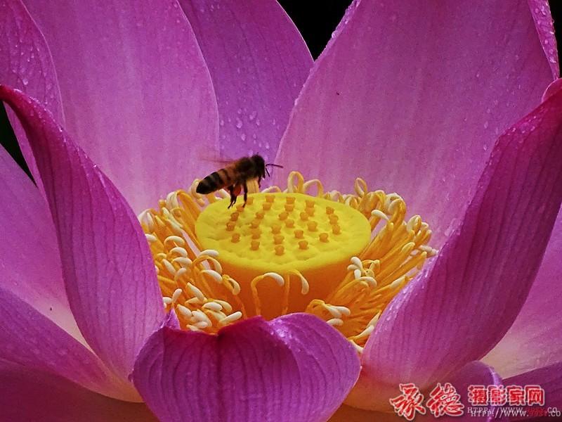 优秀奖:花香蜂自来  潇洒的活