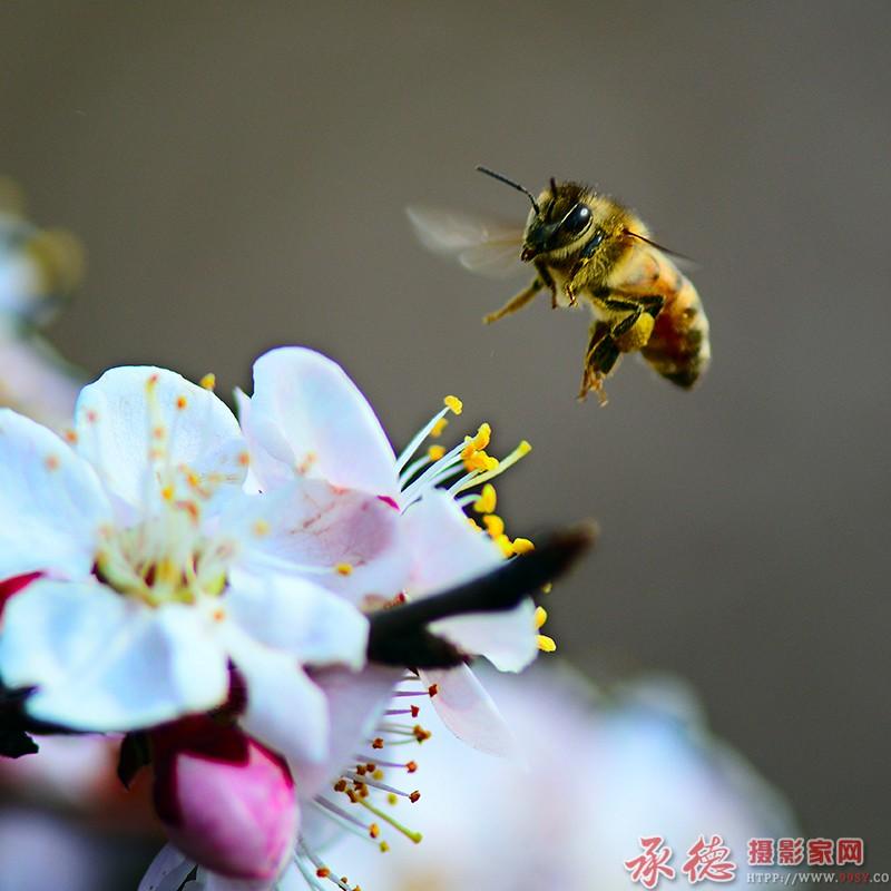 (35)蜜蜂
