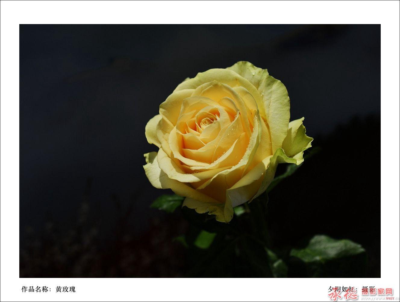 玫瑰花开4