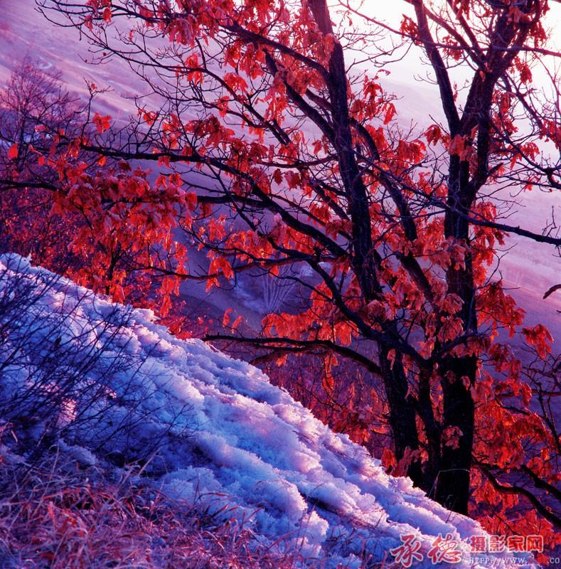 红叶伴残雪