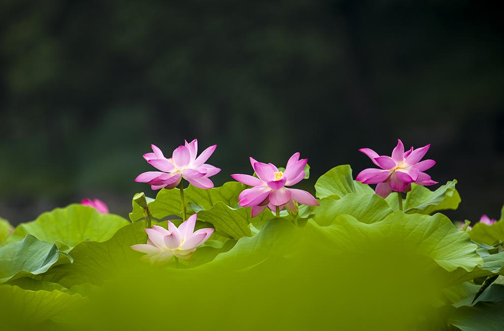 H花卉-5荷仙