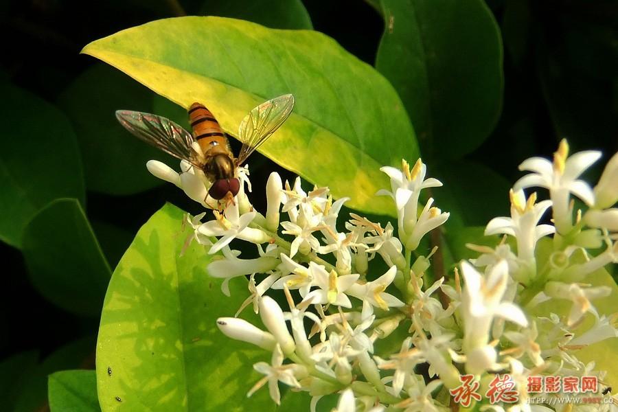 优秀奖:春花与蚜蝇 快乐摄影