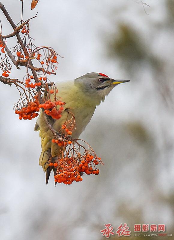 34、雄性啄木鸟-乃礼