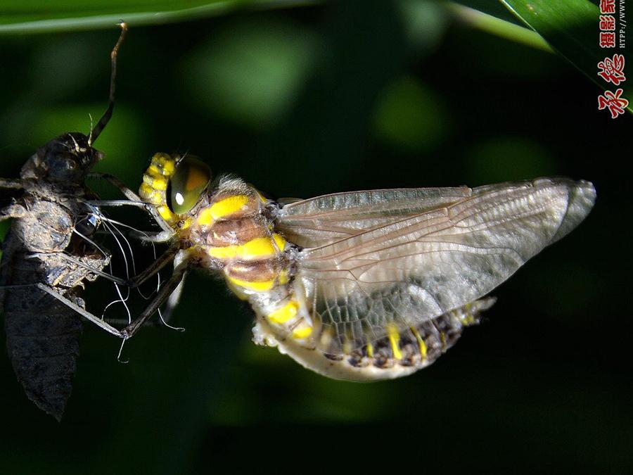 65、蜻蜓蜕变全过程-木子克