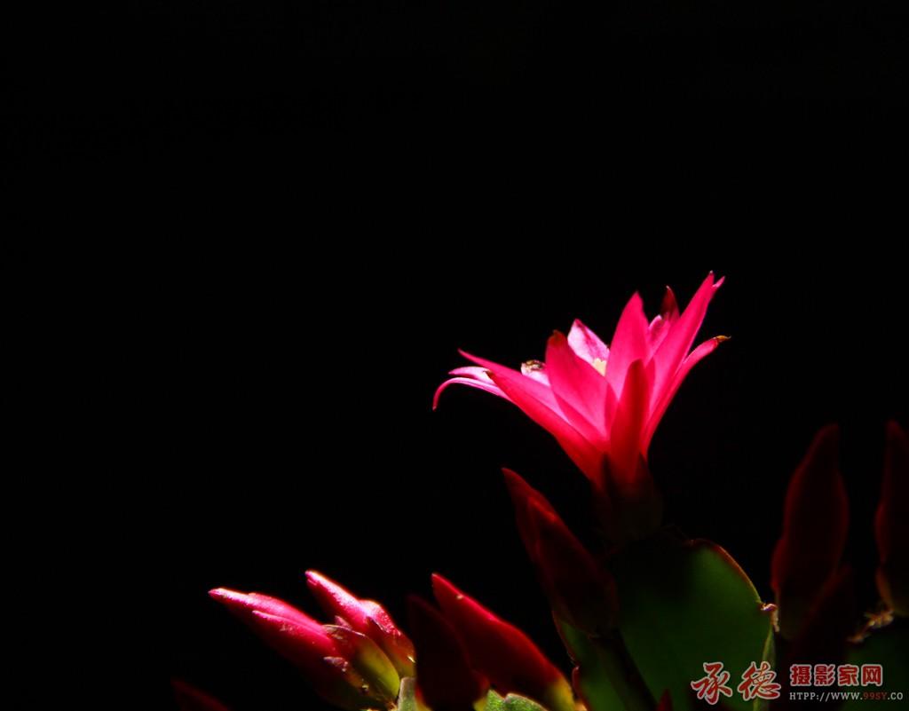 7-指甲莲-凭晓