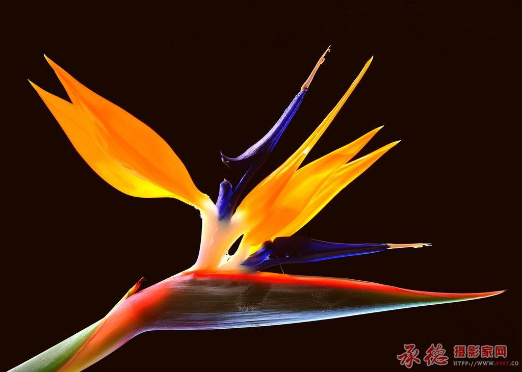 32-天堂鸟-草根摄员
