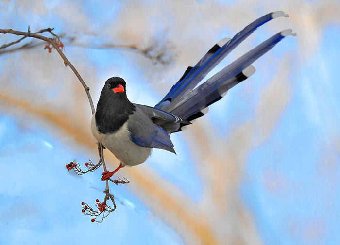 54-红嘴蓝鹊
