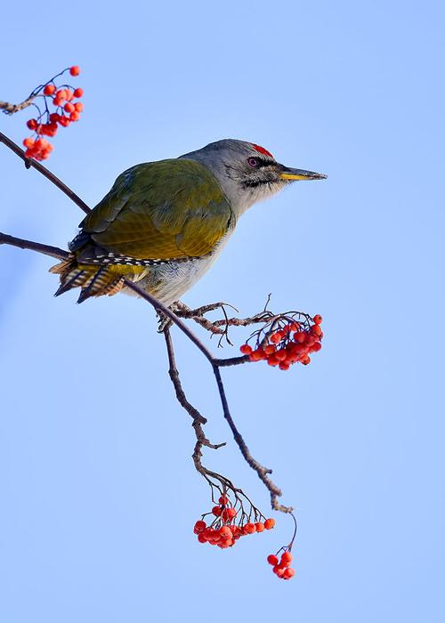 55-啄木鸟
