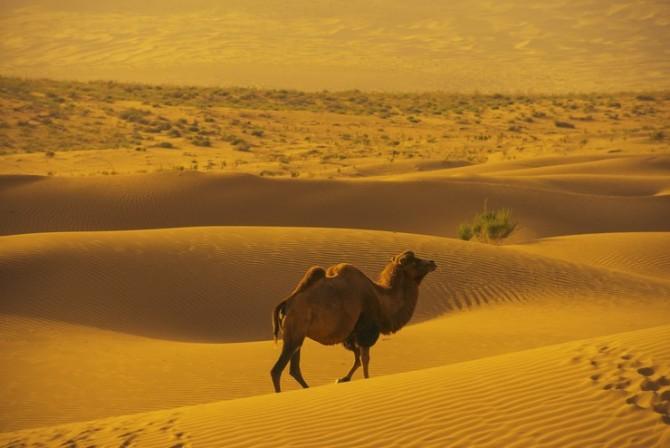 81 沙漠驼影.jpg