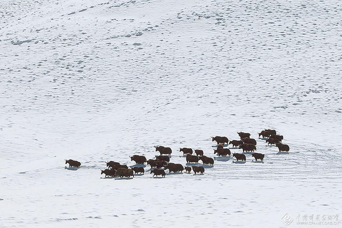 180x120-3 阿尔金高原野牦牛群  潘新华-60乘以40厘米.jpg