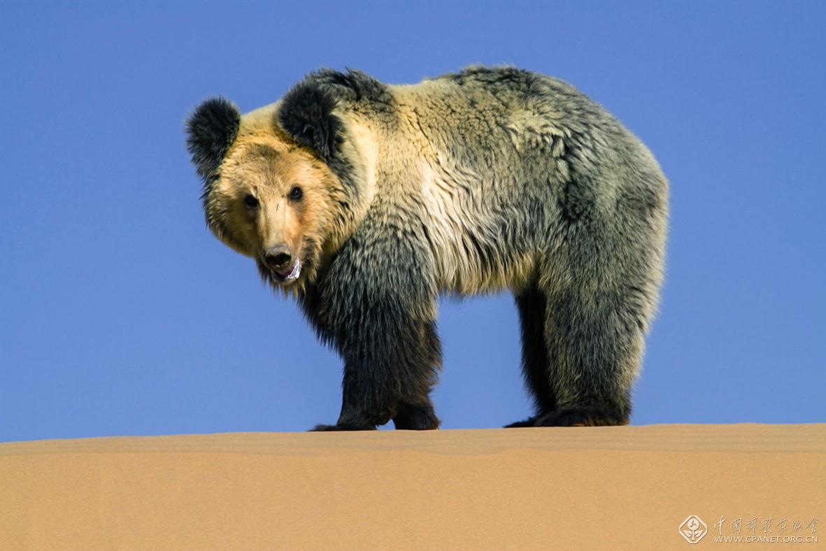 阿尔金高原棕熊  摄影:马立新-60乘以40.jpg